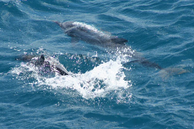 Dolphin Swimming Mauritius