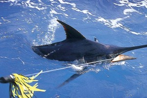 Blue Marlin - Big Game Fishing - Mauritius