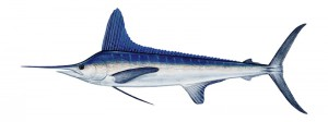 Striped Marlin Fishing Mauritius
